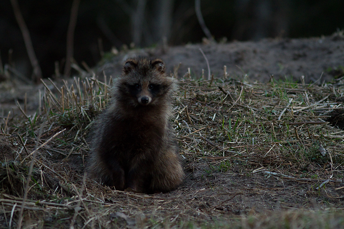 kährik raccoon dog loomafoto loodusfoto estonia